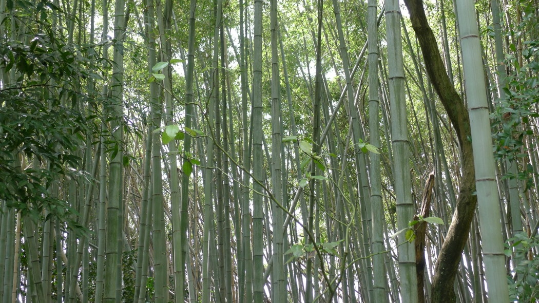 Bamboo forests of Japan