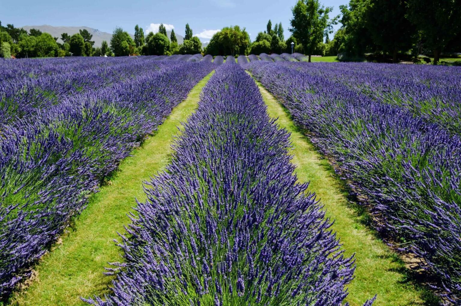 A lavendar farm in Wanaka, New Zealand