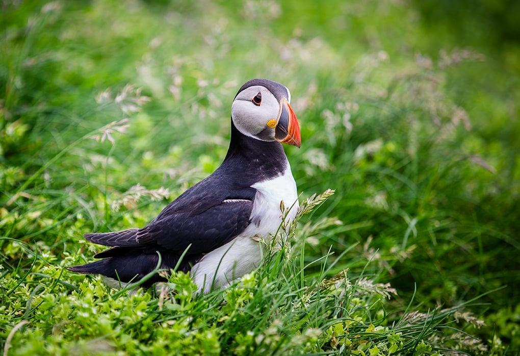 Faroe Islands- Mykines Puffin 2