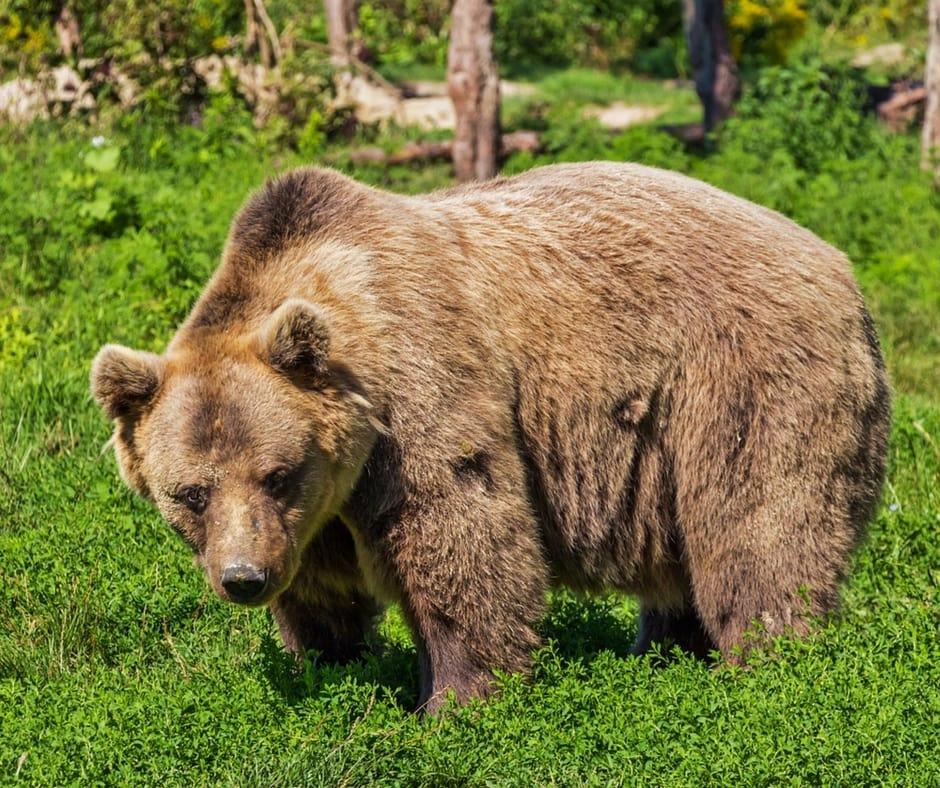 spotting Bears in Slovenia