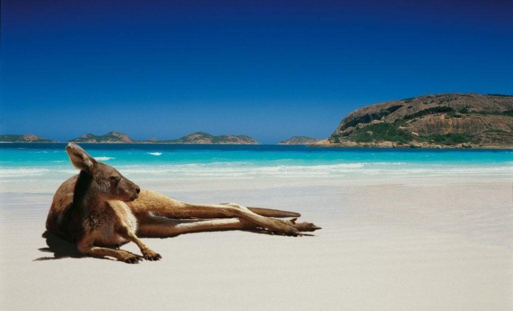 Kangaroo relaxing on Australia beach