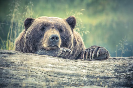 A gentle brown bear in Slovenia