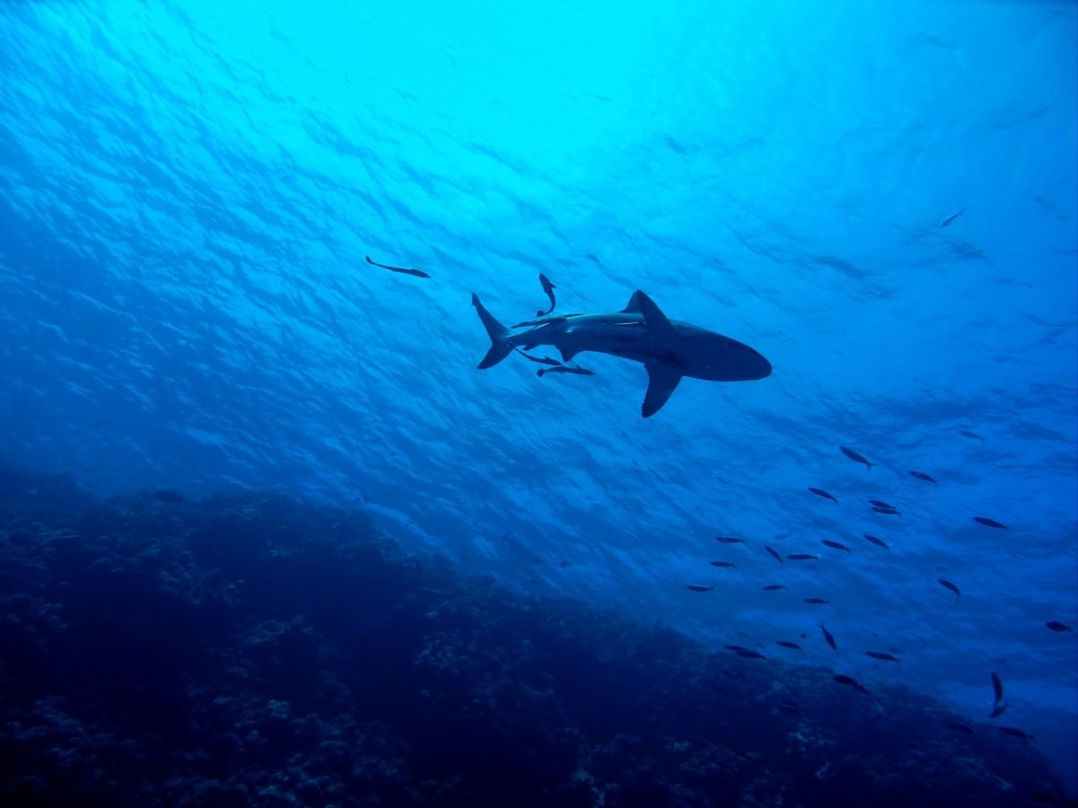 Diving in Mauritius with sharks