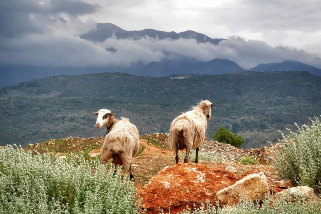 Goats on a mountain lookout in Crete