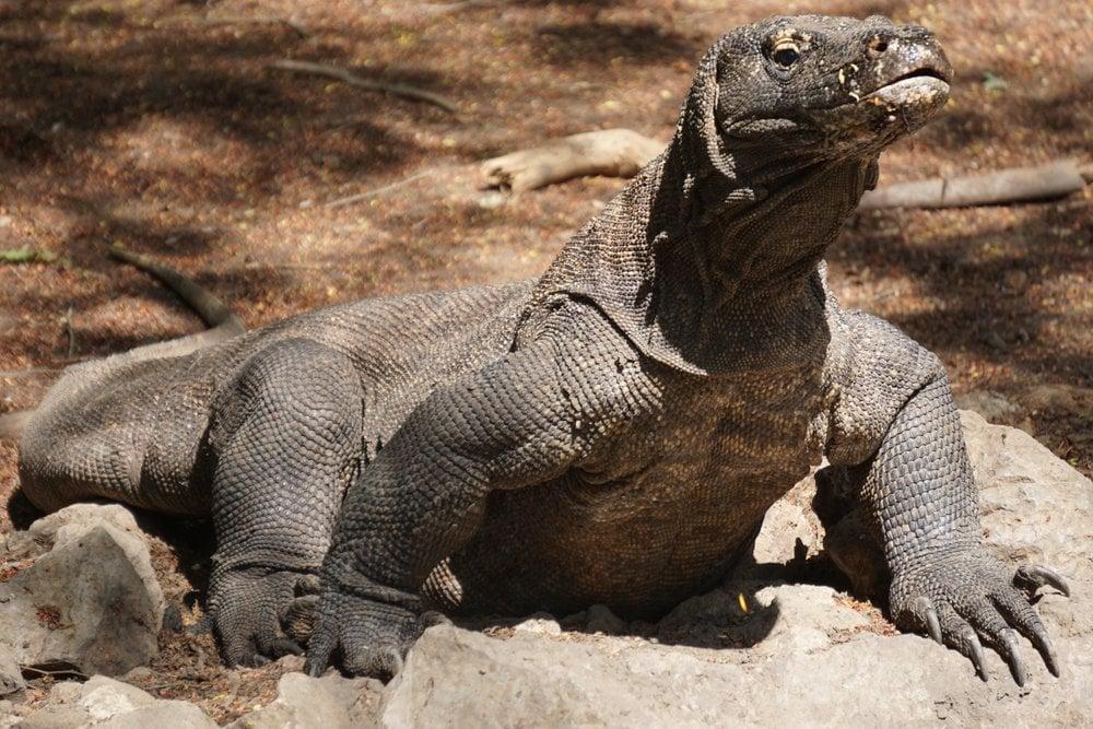 Komodo dragons in Indonesia.