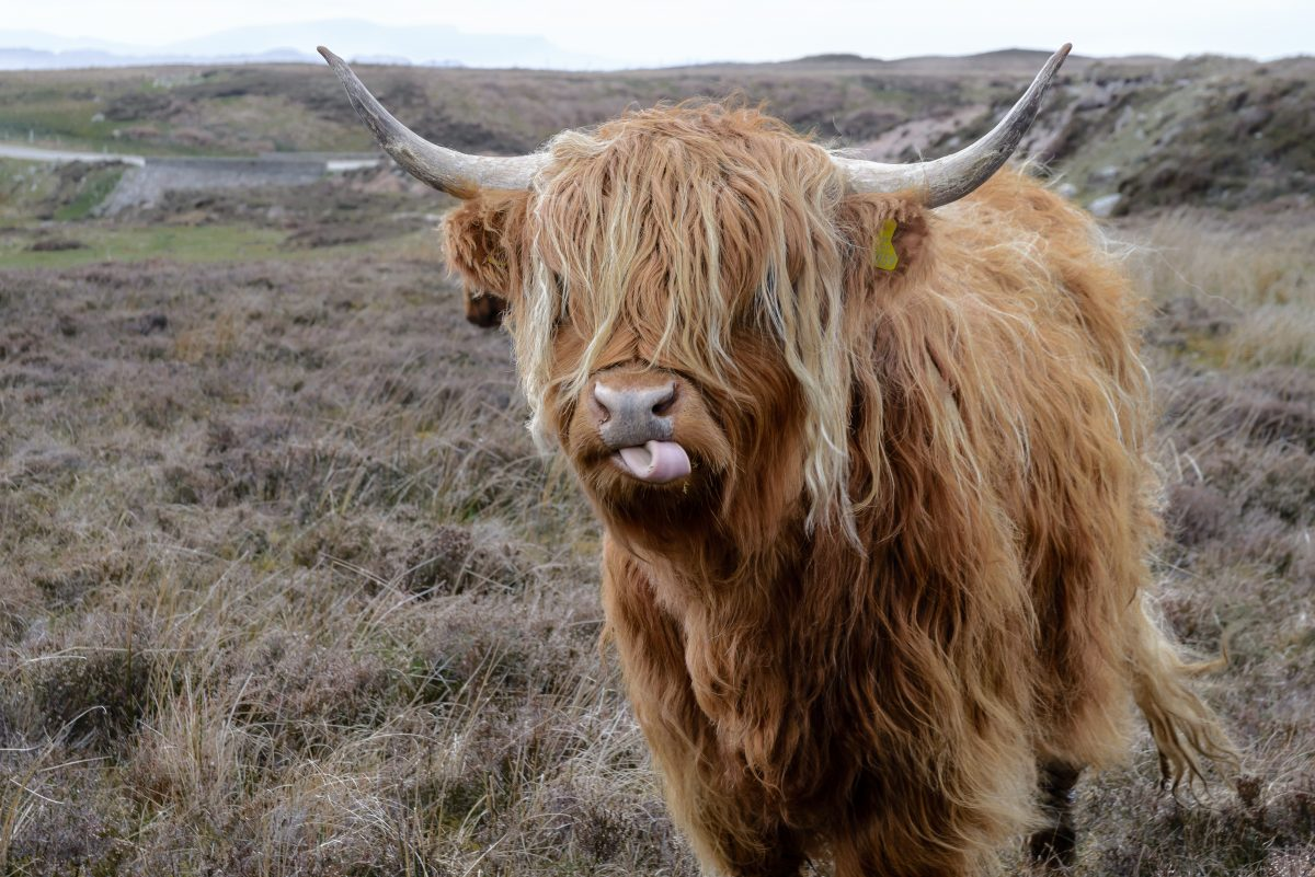 Scottish highlands cattle