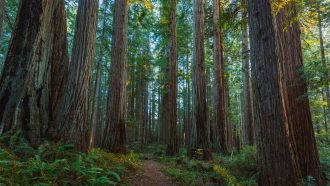 redwood tree forest humboldt county