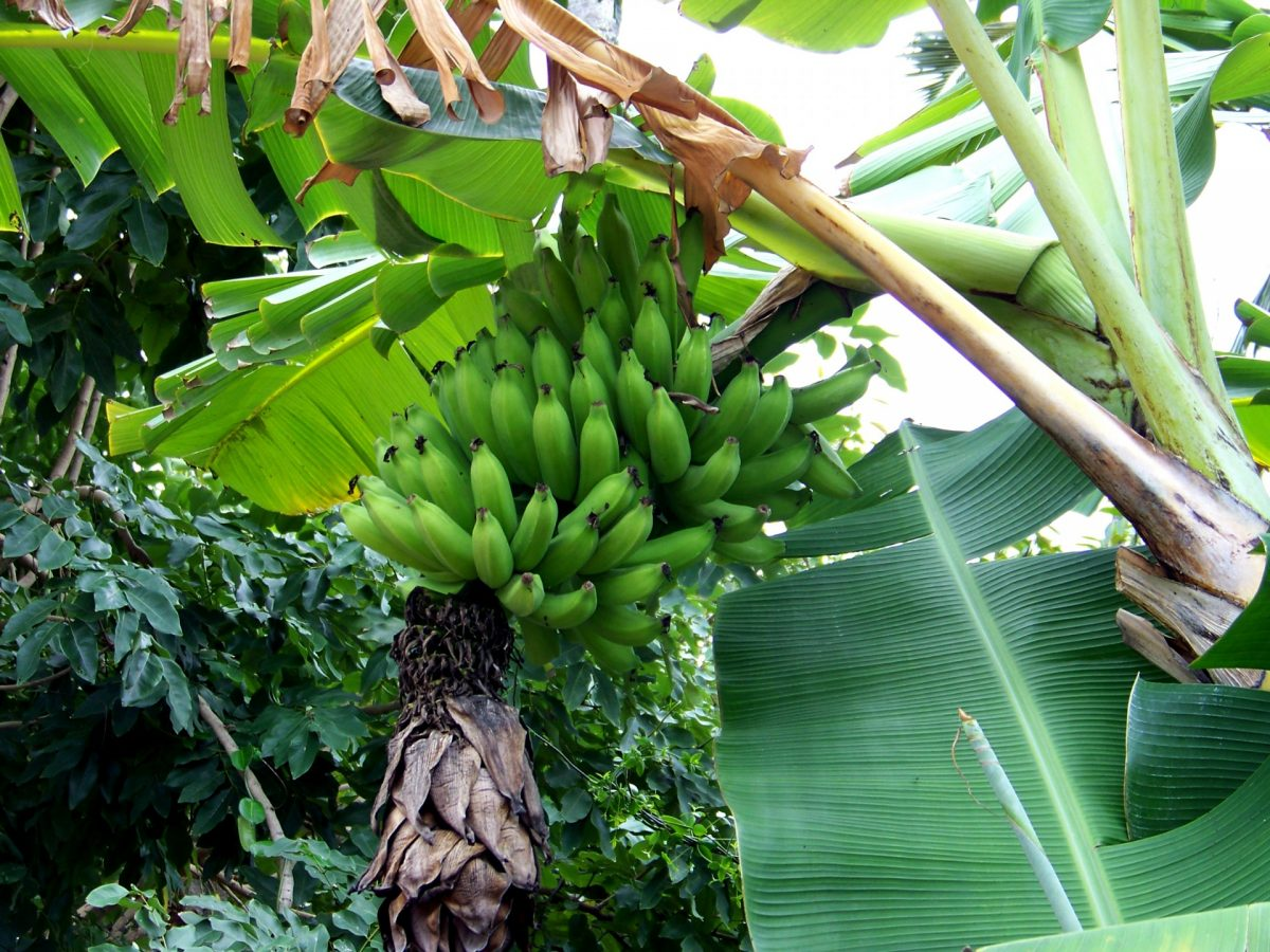 Ecuador banana plantations