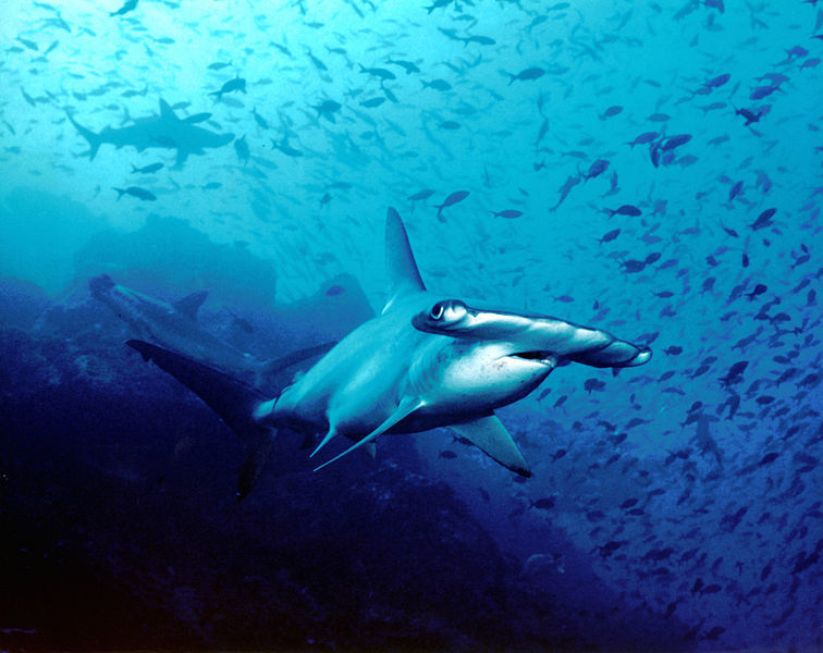 A hammerhead shark in clear water in French Polynesia.