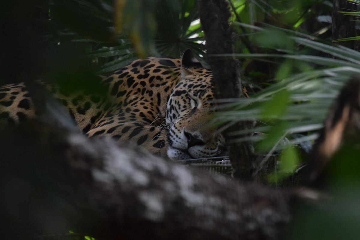 jaguars in central america
