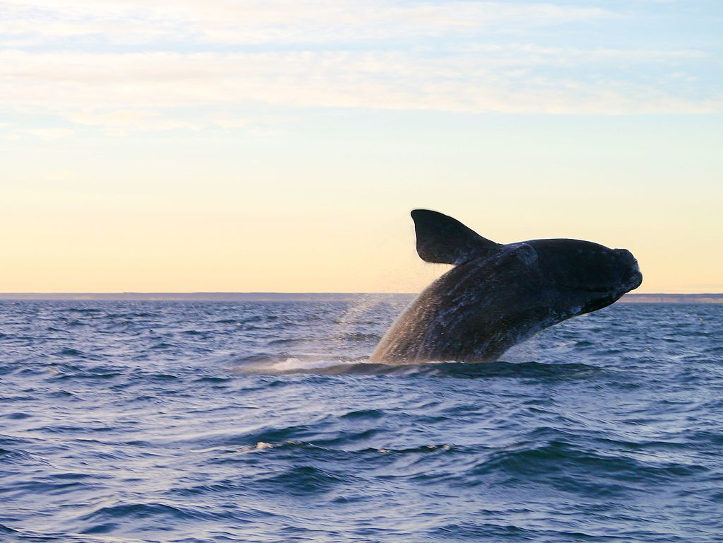 migrating whale in puerto madryn valdes peninsula