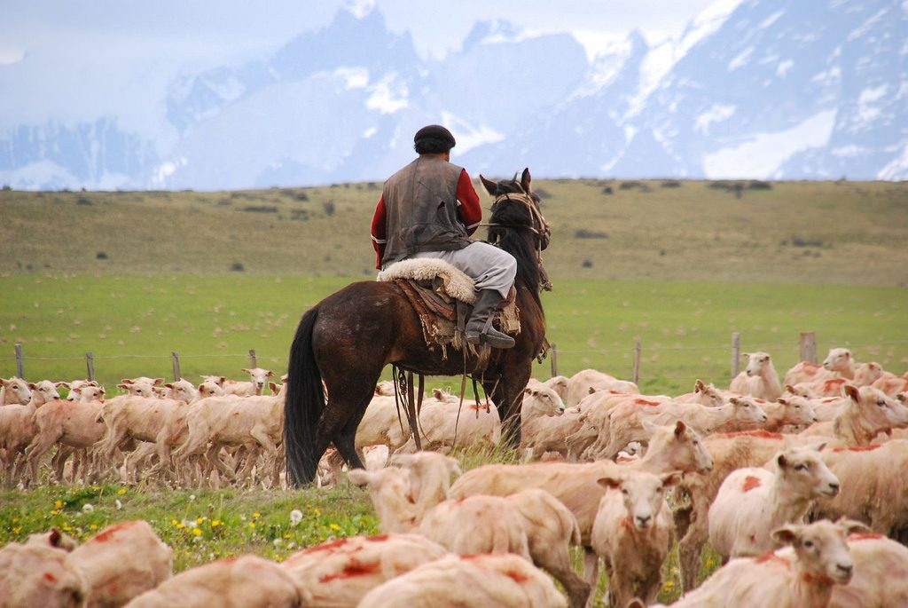 gaucho in patagonia with livestock