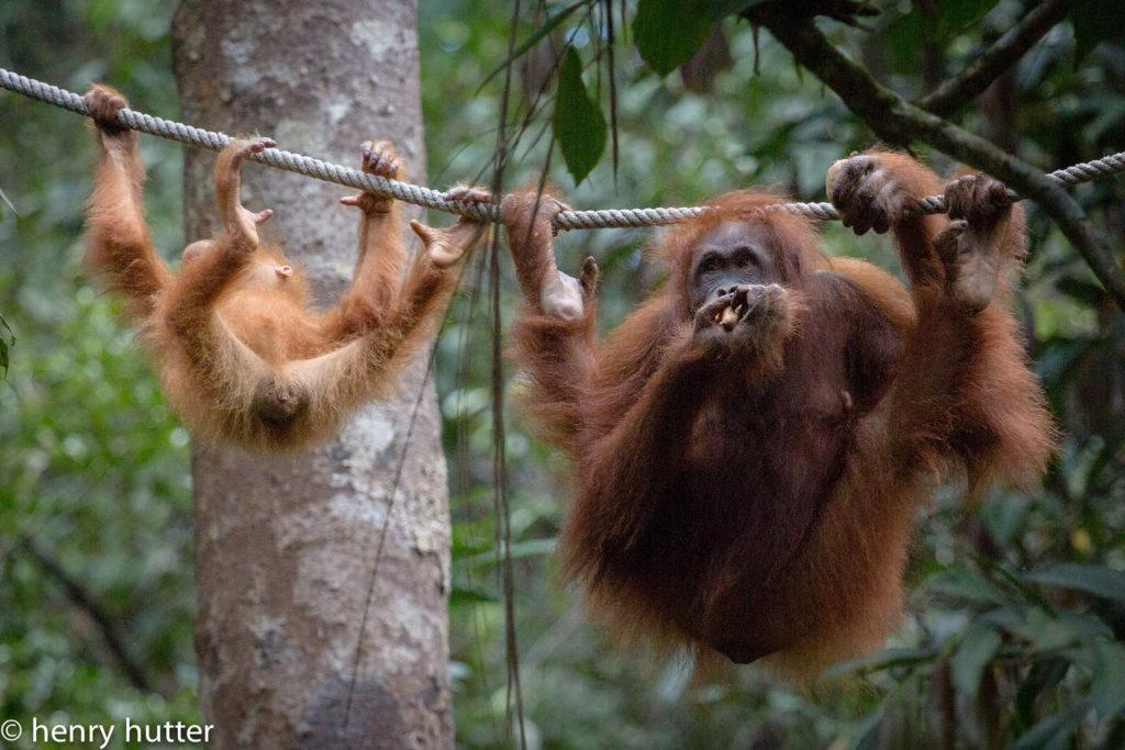 orangutans in Malaysia by henry hutter