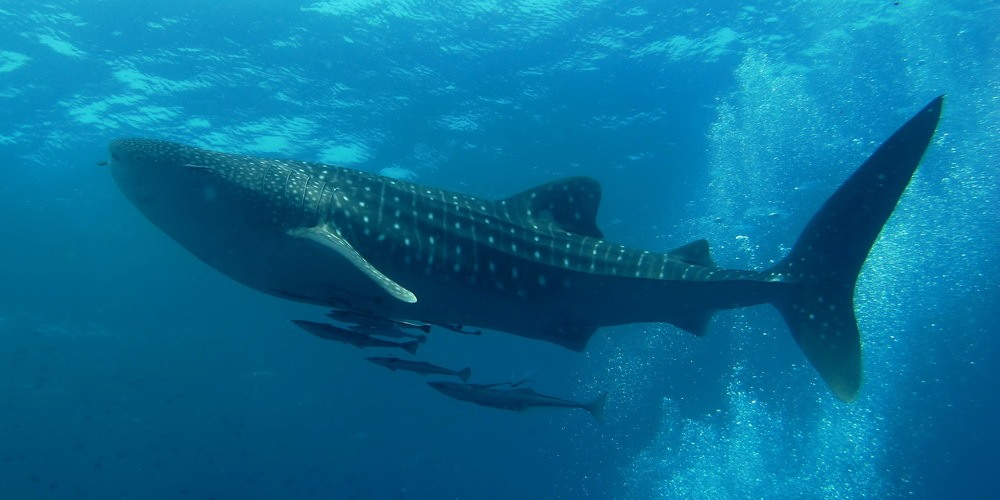 whale shark in the ocean