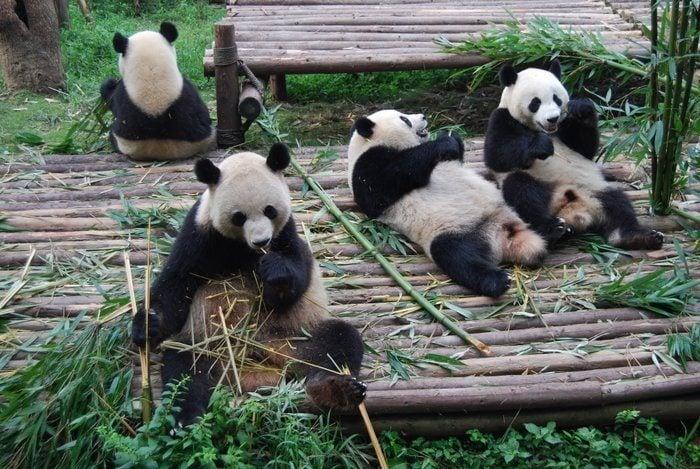 Chengdu Giant Pandas