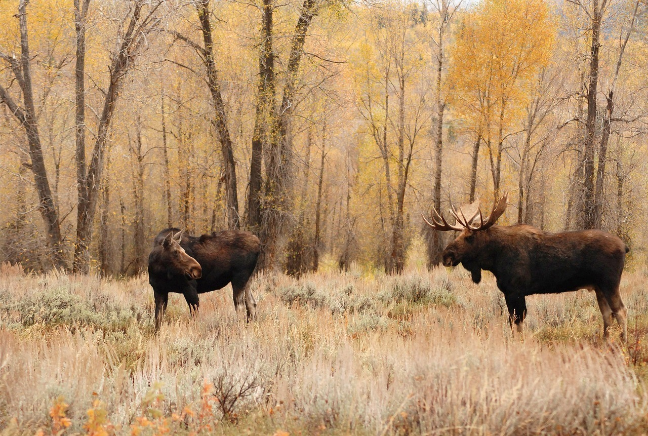 moose-grazing-in-canada