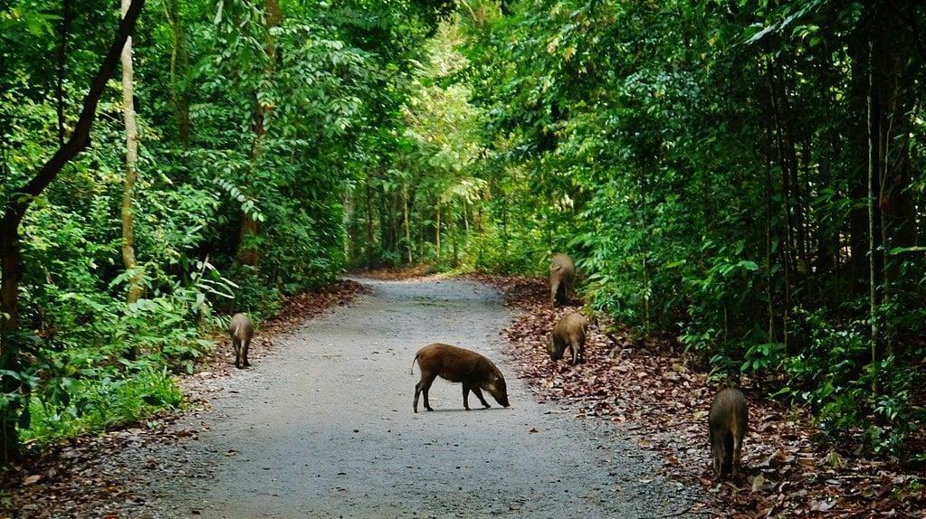1024px-Singapore_Wildschweine_auf_Pulau_Ubin_1-Zairon-wikicommons