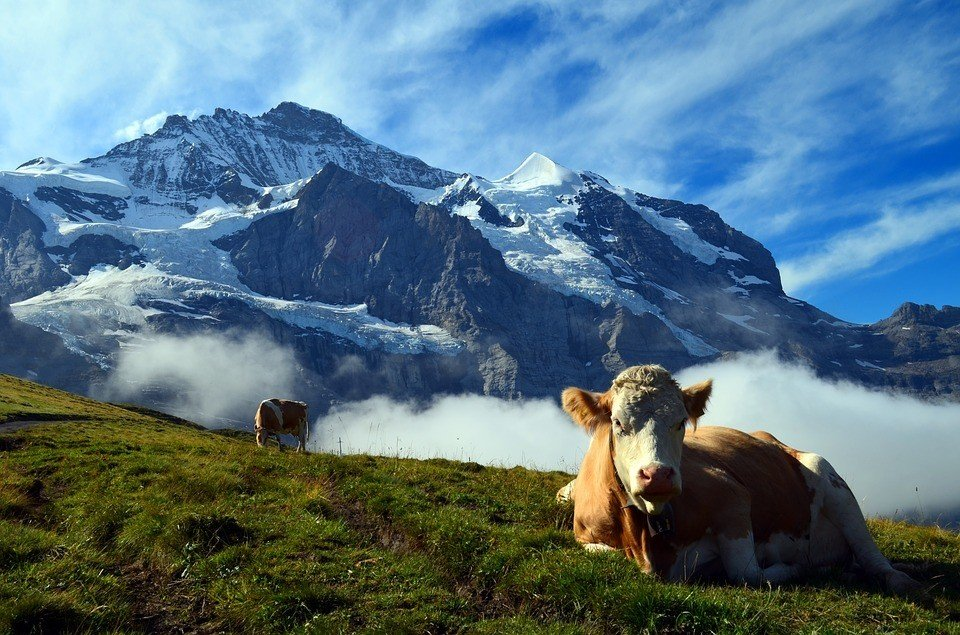 cow in the swiss alpine