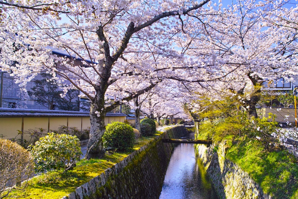 Path of Philosophy during cherry blossom season