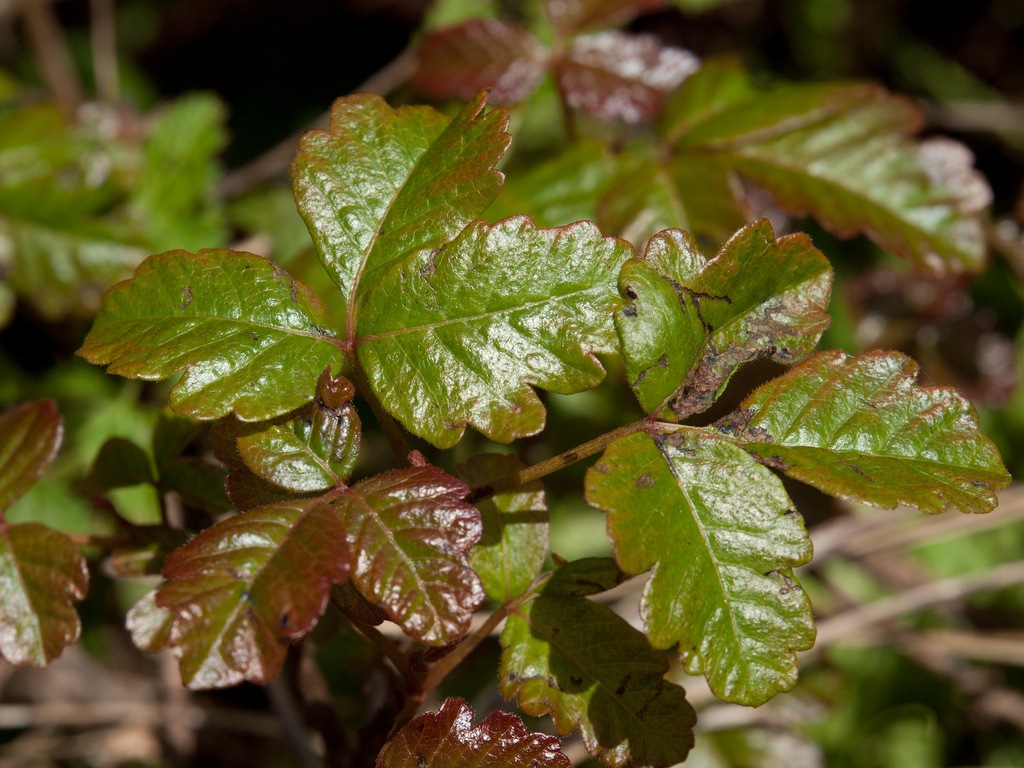 Poison oak is a prevalent threat for people at big sur's camping spots