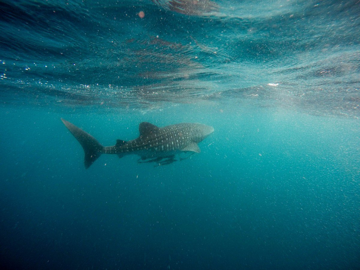 whale sharks and diving