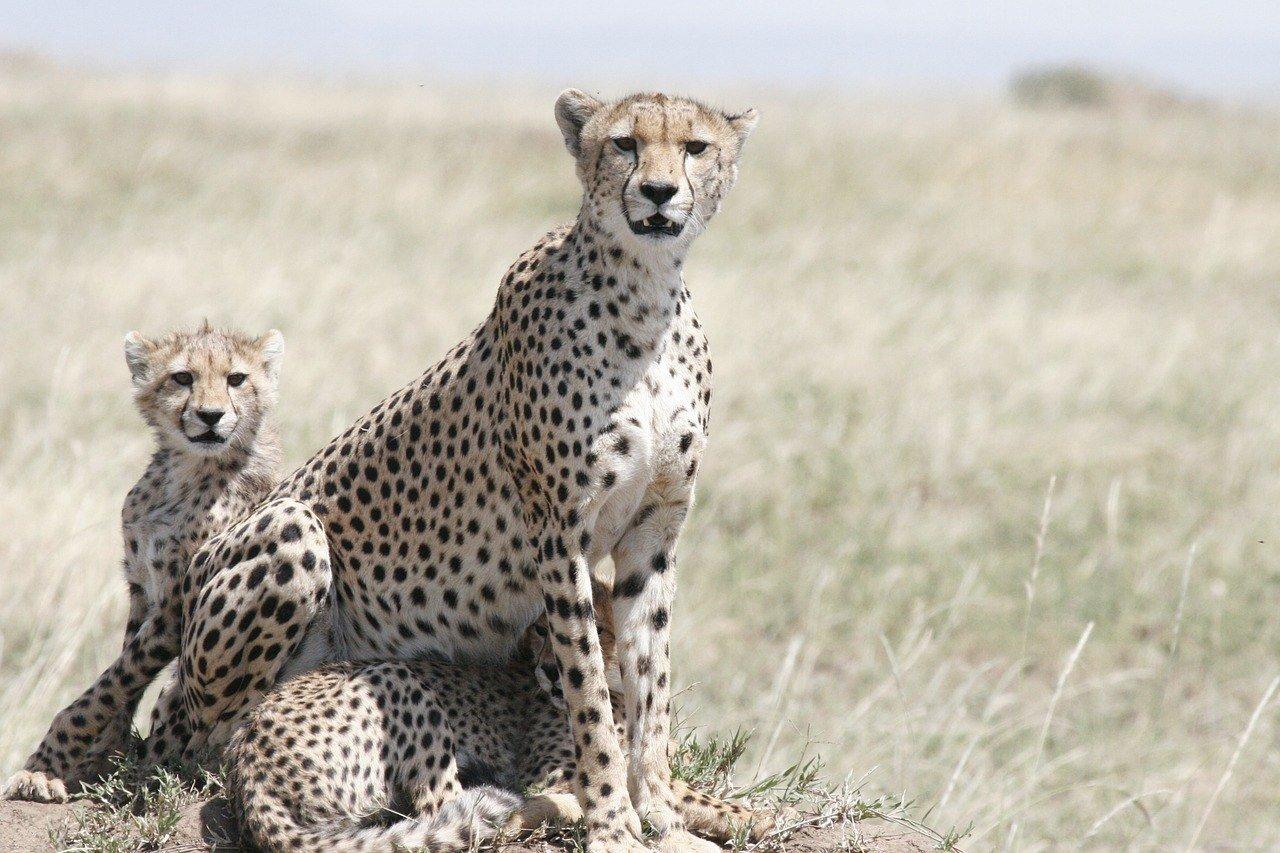 cheetah on safari in tanzania