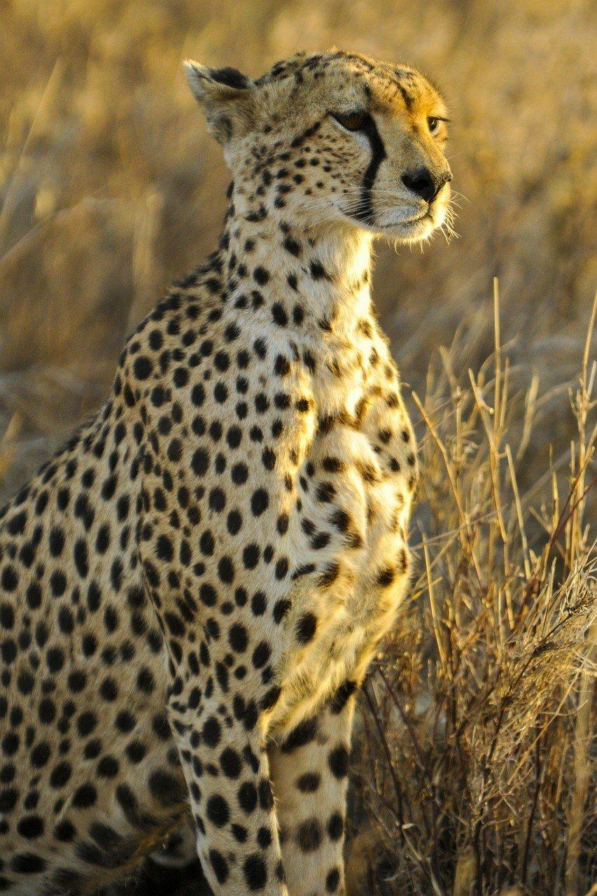 cheetah on the lookout tanzania