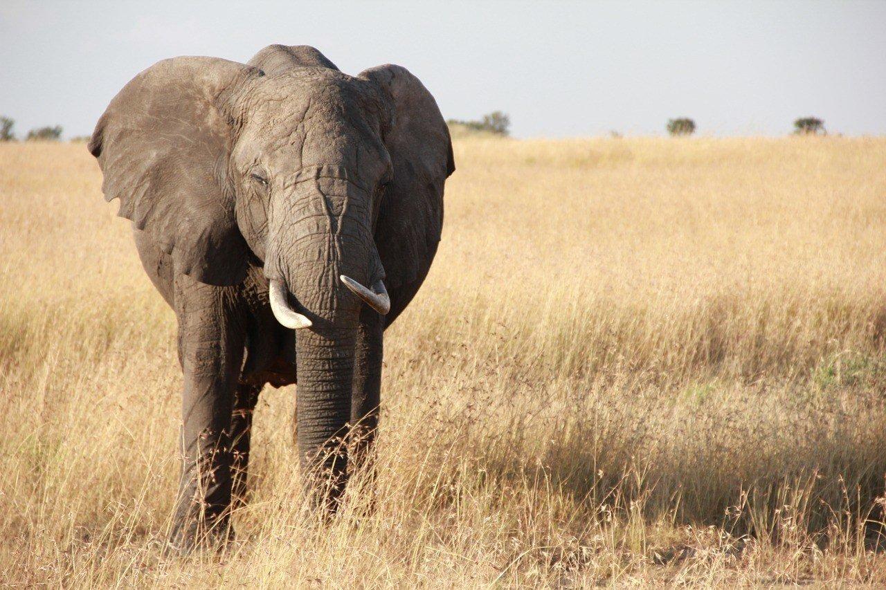 elephant from safari tanzania