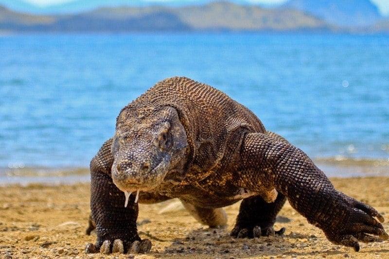komodo dragon on komodo island