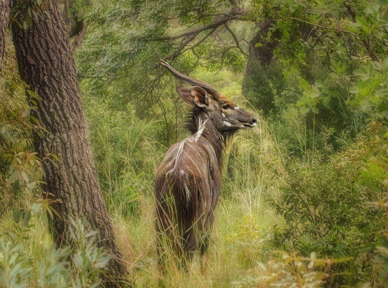 nyala antelop in mozambique