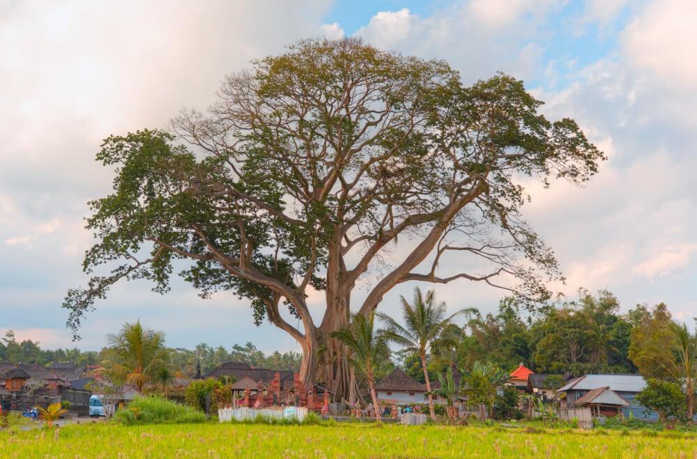 See a 500 year old banyan tree