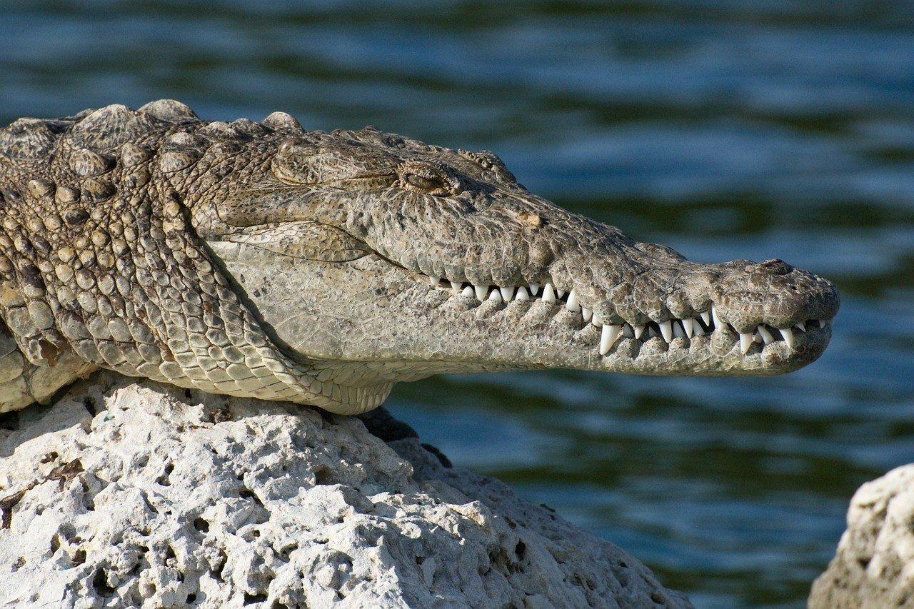 gator in biscayne national park florida