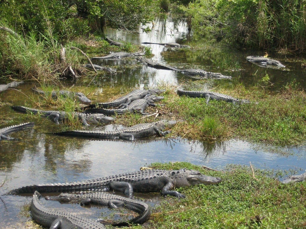 crocodlies in everglades road trip in florida