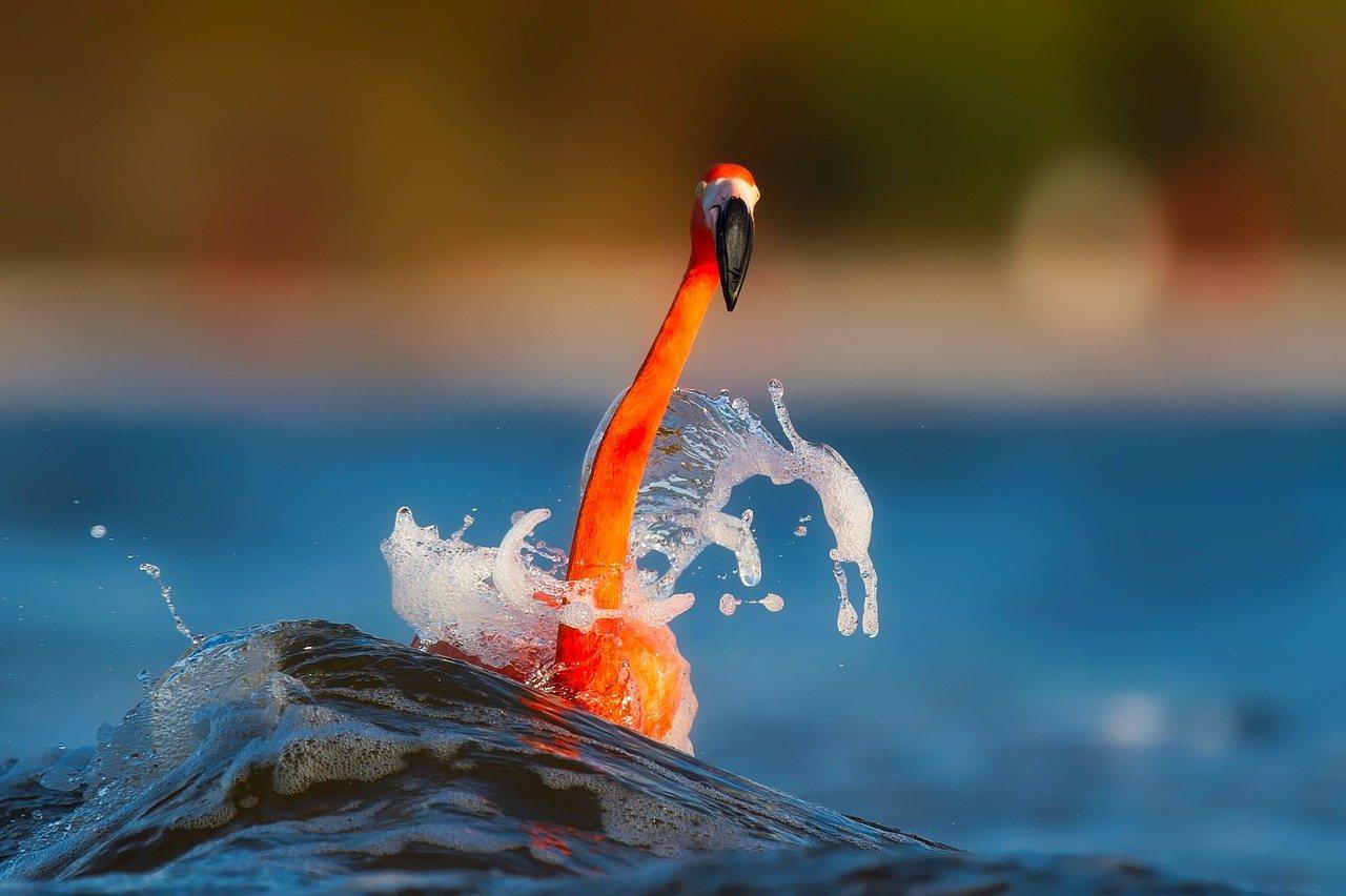 flamingo swimming in florida