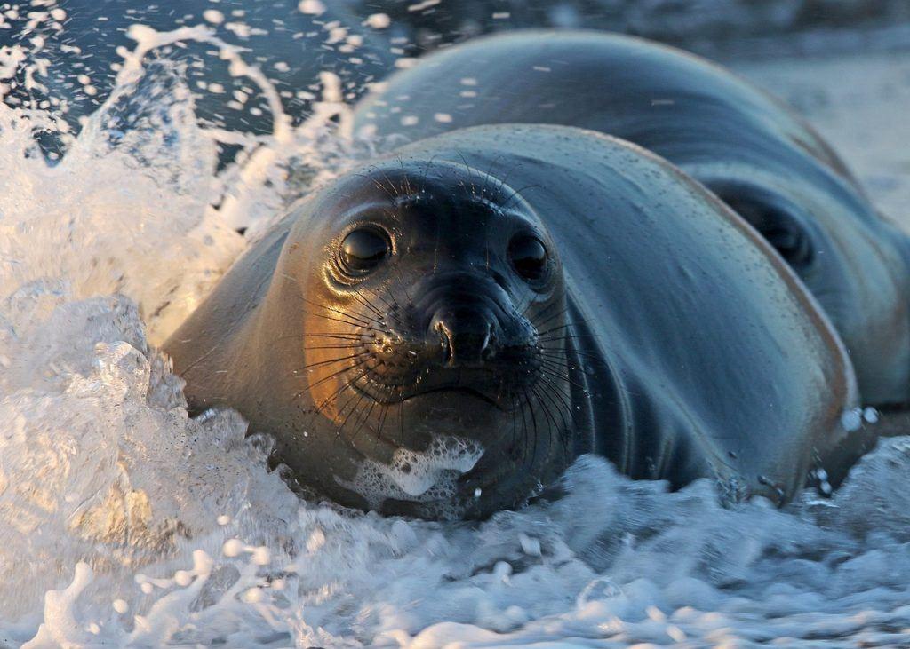 A seal in Kaikoura having a splash