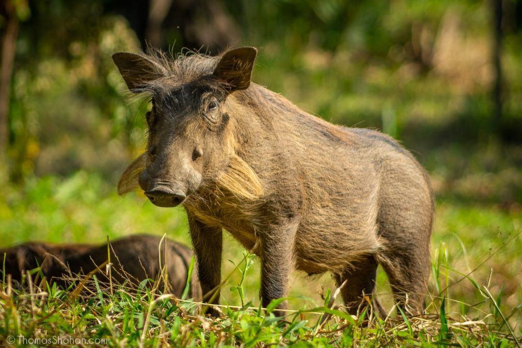 warthog in mozambique
