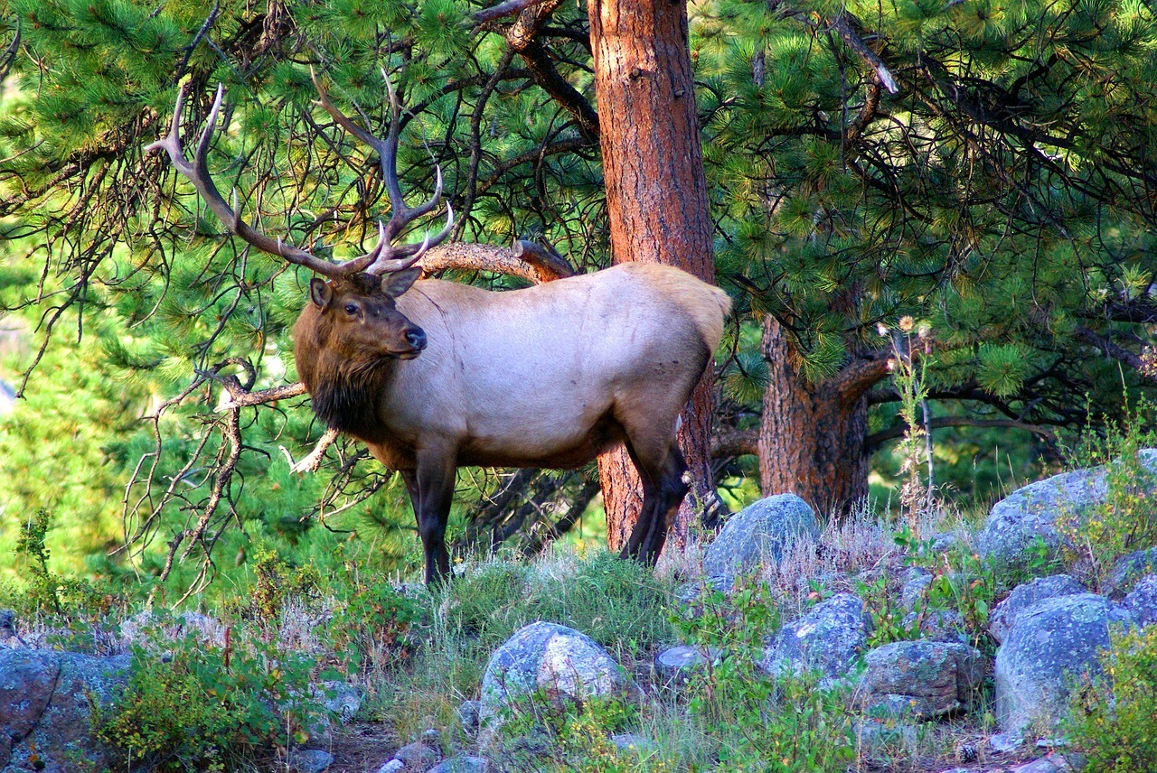 young bull elk in colorado things to do