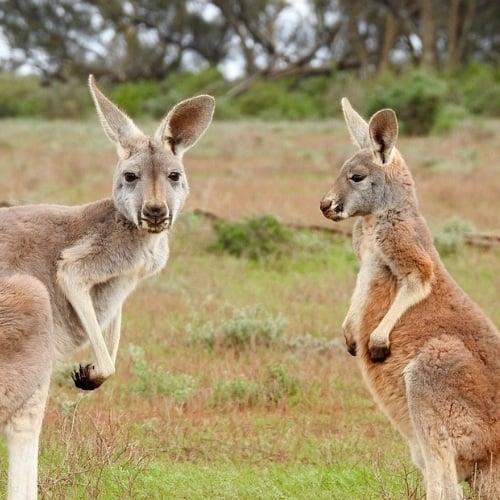 Kangaroos in Australia plotting to ruin a road trip
