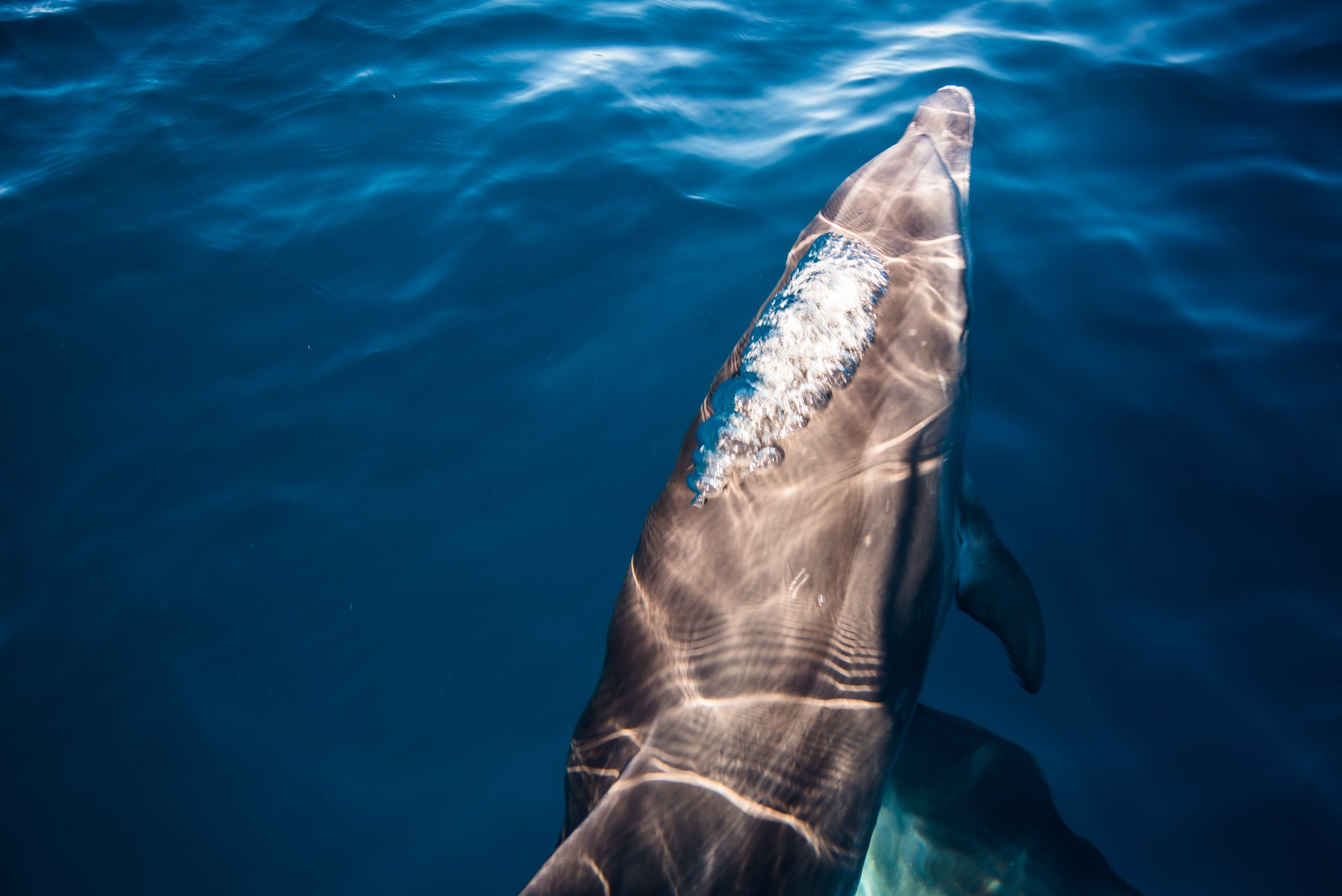 whale watching on the Azores