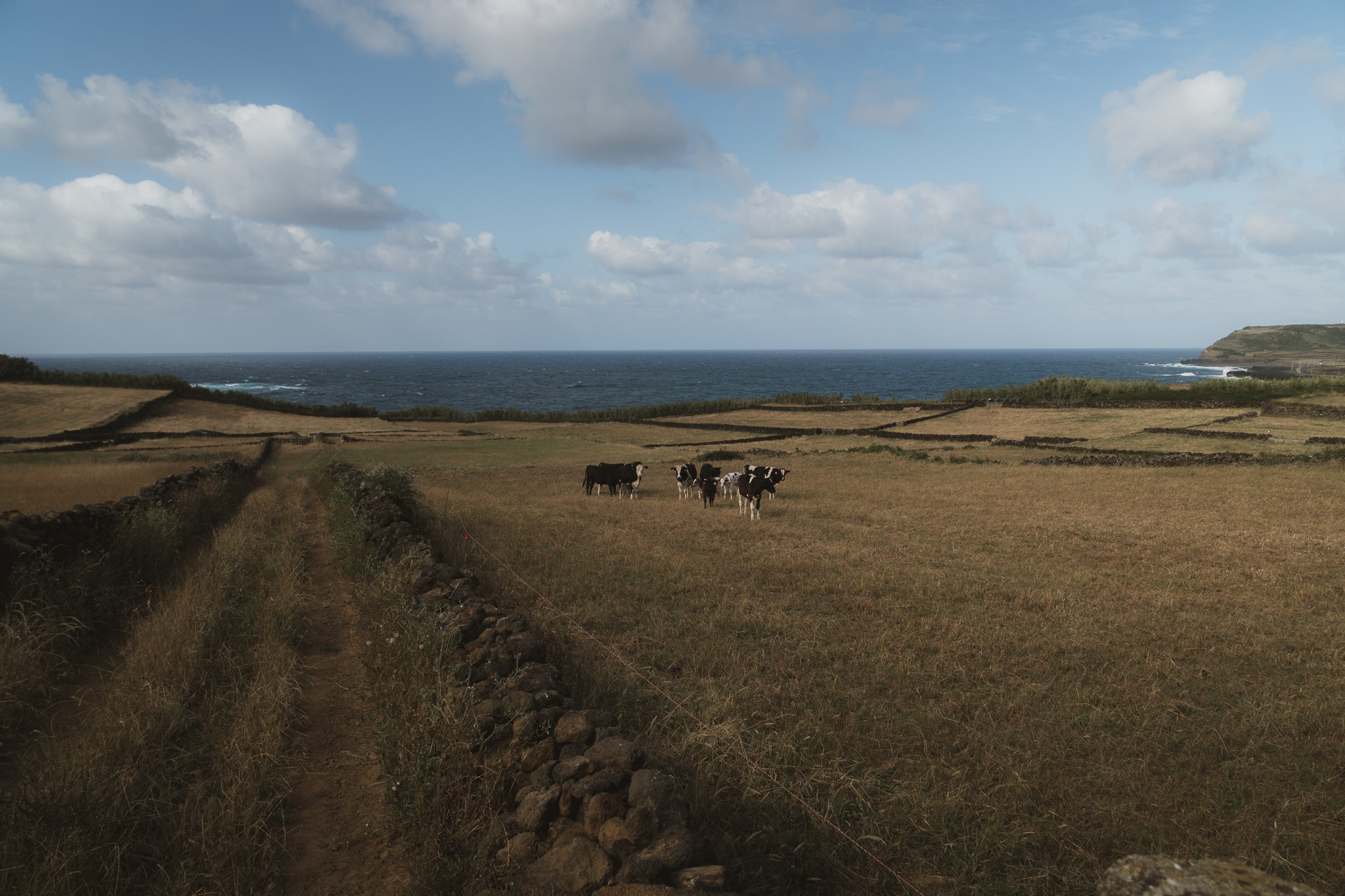 cows on the Azores