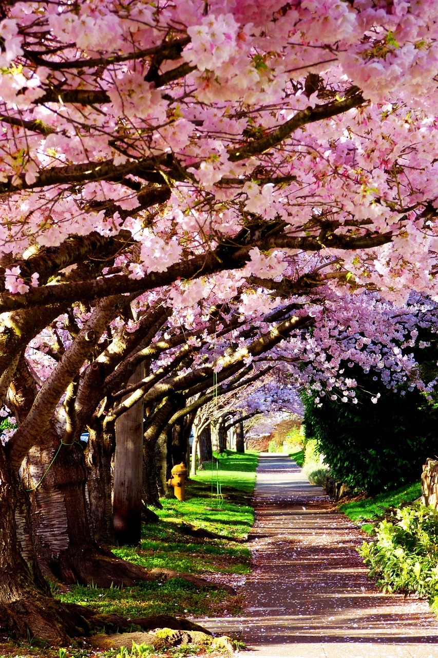 cherry blossom road seattle travel guide