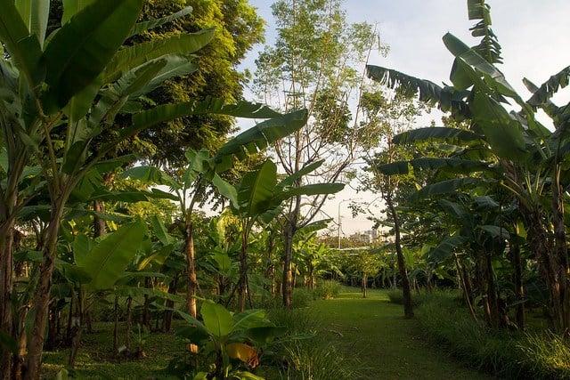 Banana plantation in Queen Sirikit Park