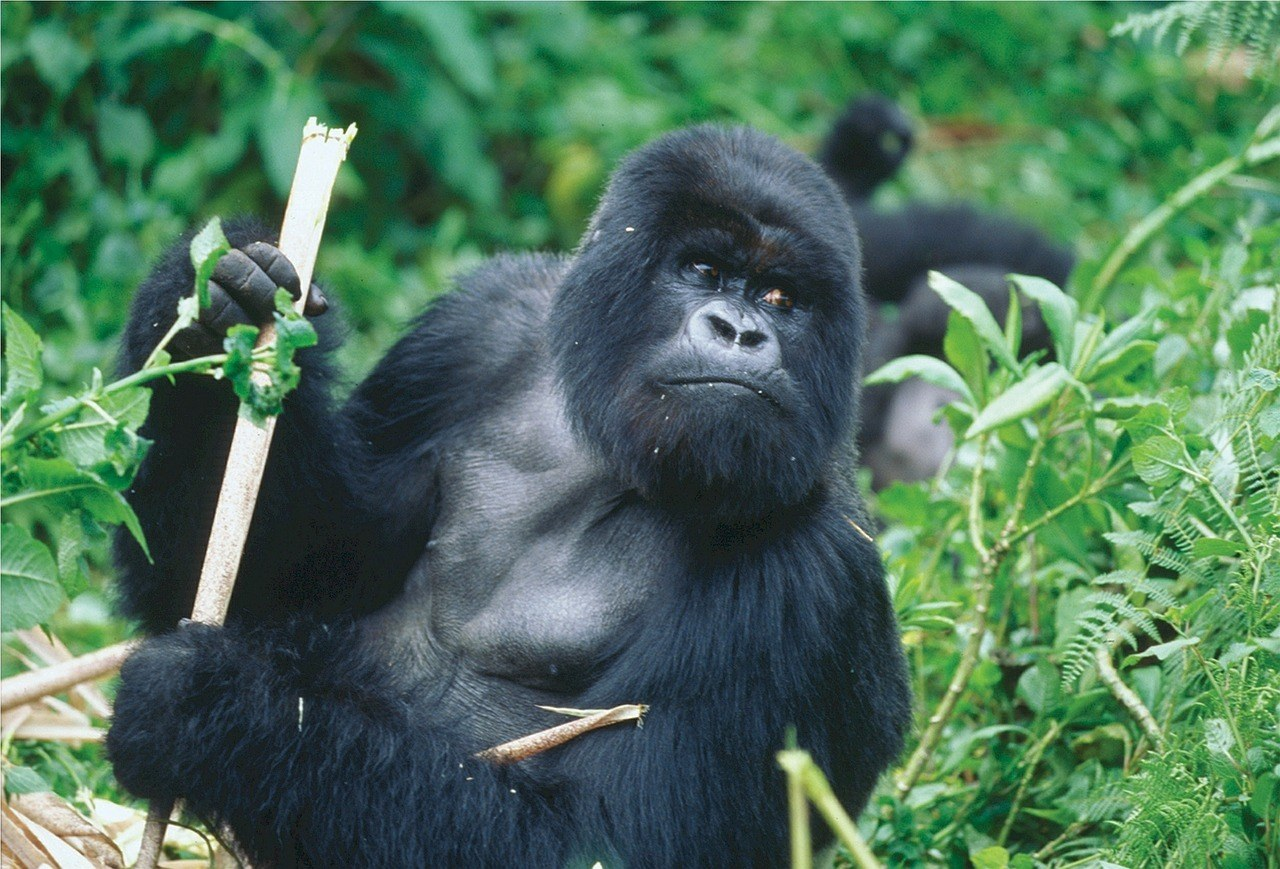 volunteering abroad in rwanda with gorillas