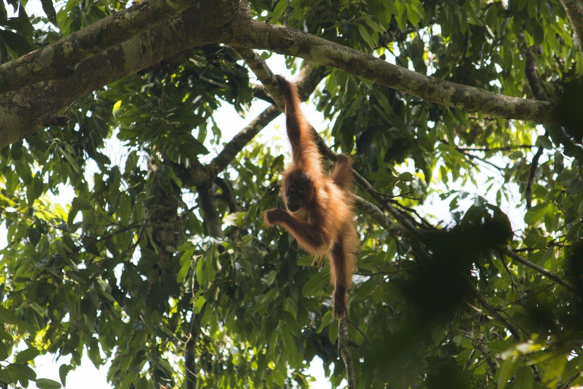 Orangutan in a forest eco-sanctuary in Malaysia