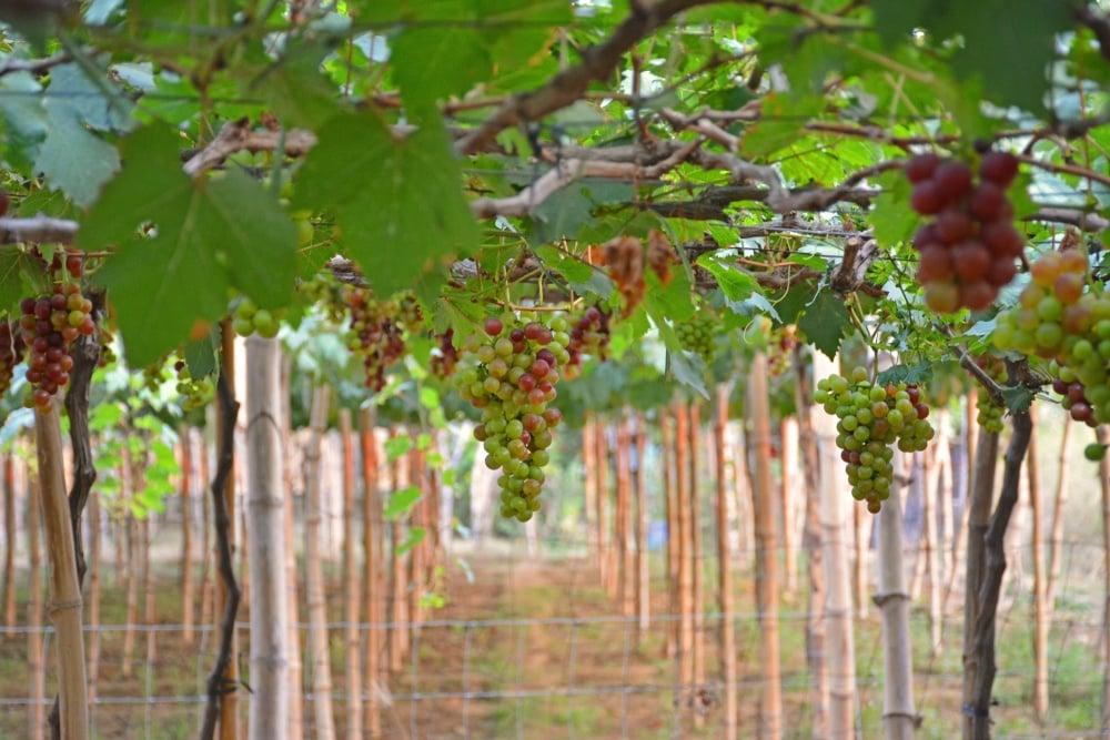 La Union Grape Farm