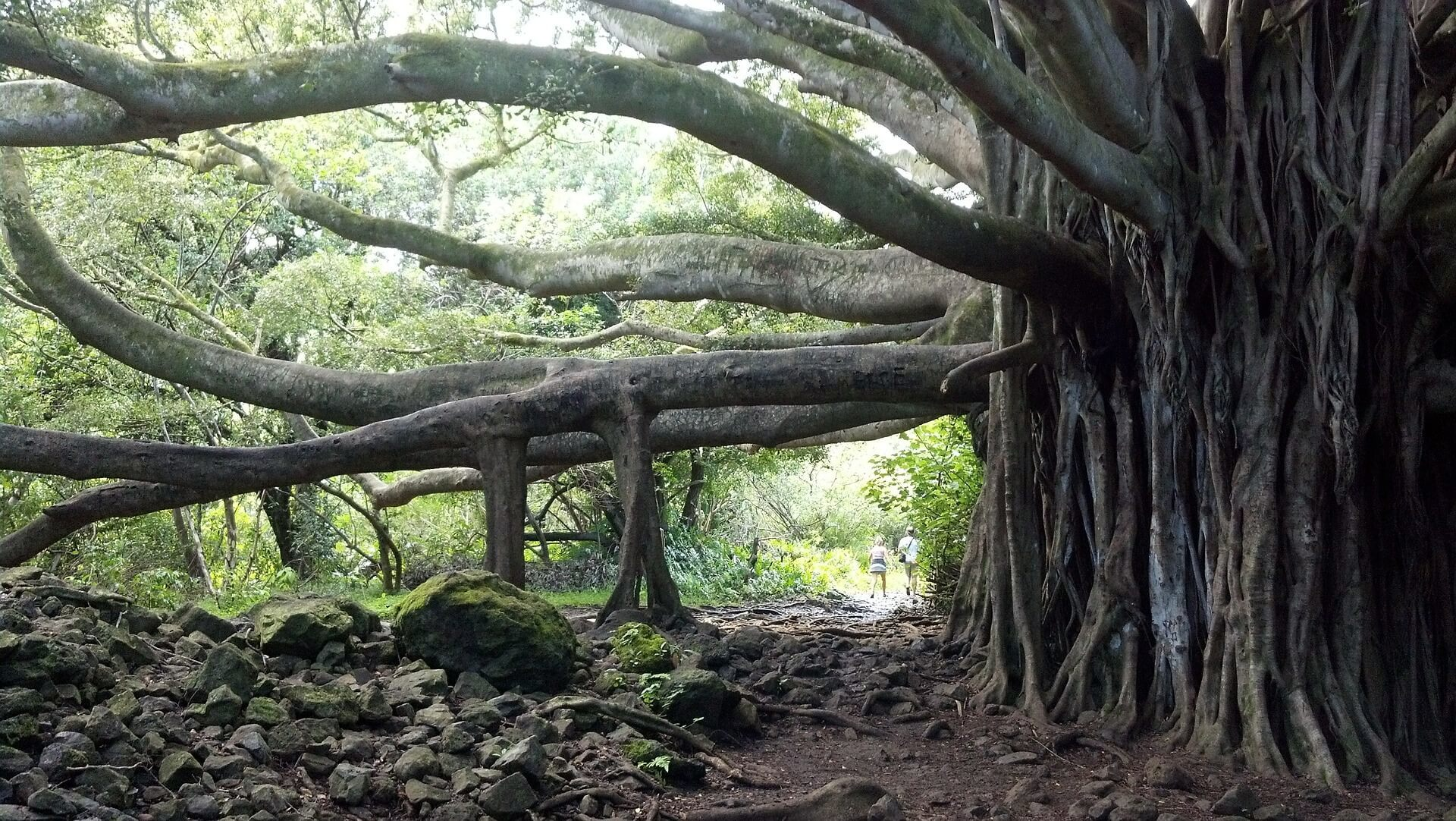 Banyan Tree Park, Hawaii