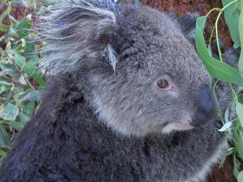 flickr-itinerary-perth-koala