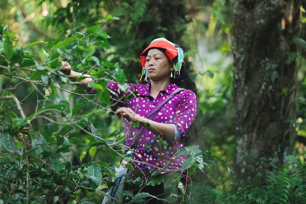 traditional clothing in Vietnam tea picking