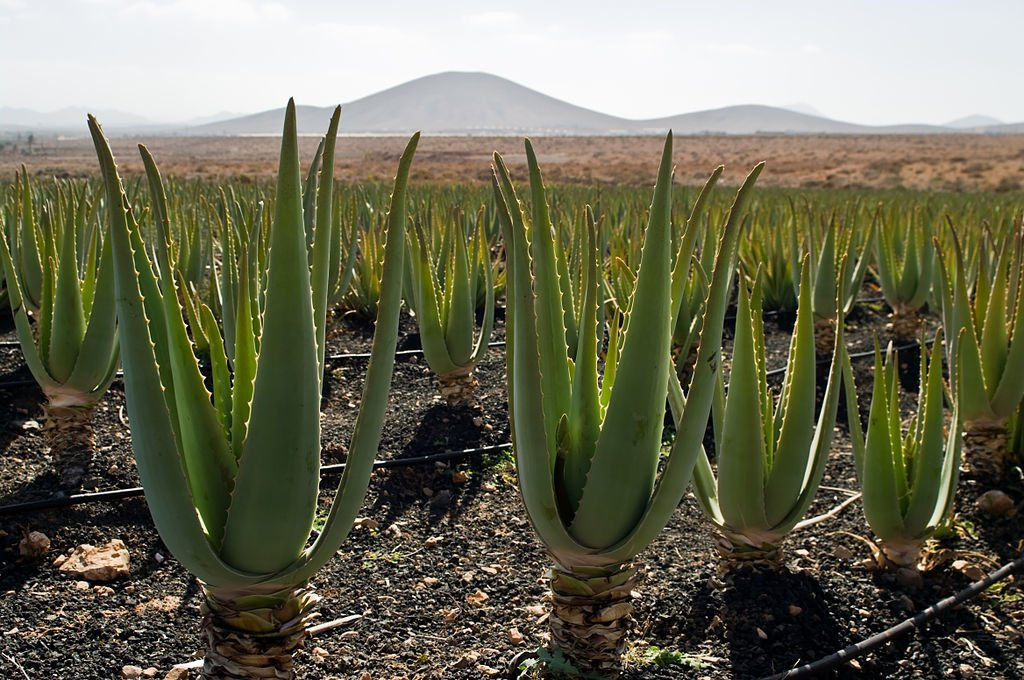 Aloe vera is a natural first aid supply too