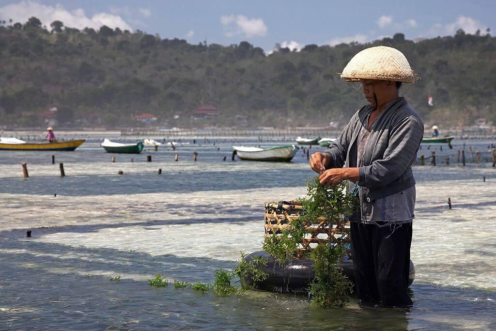 seaweed farming yellow bridge nusa lembongan